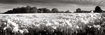 Cromer Poppyfield by Rod Edwards - print
