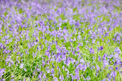 Fine Art Print of Bluebells En Masse by Jane Ann Butler