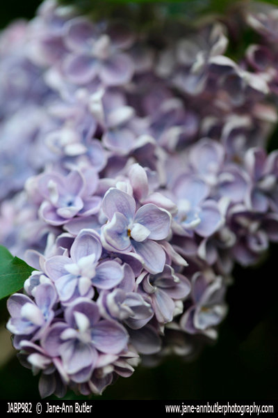 Fine Art Print of Lilac Bloom by Jane Ann Butler