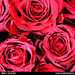 Fine Art Print of Roses of Love II by Jane Ann Butler