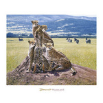 Cheetah Watch by John Banovich - framed art prints and framed pictures