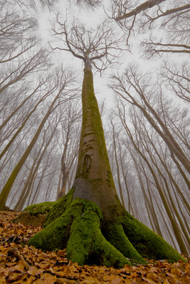 The Beech with a Human Face Poster Art Print by Leszek Paradowski