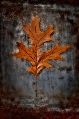 Autumnal Red Oak Poster Art Print by Peter Straw