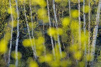 Birch Trees and Foliage in Spring Poster Art Print by Don Johnston