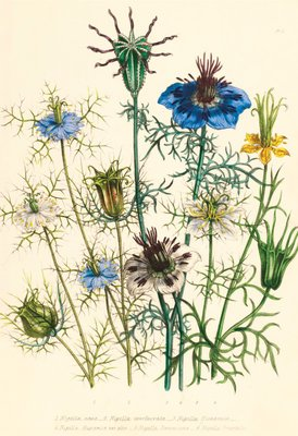 Illustrations of various Nigellas / Love in a Mist by Jane Webb Loudon - print