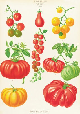 Tomatoes, or Love-Apples by Ernst Benary - print