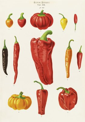 Capsicums, or Chilli Peppers by Ernst Benary - print