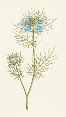 Nigella damascena. Garden Fennel-flower by Sydenham Teast Edwards - print
