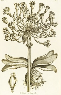 Delicate Amaryllis - Amaryllis orientalis by John Hill - print