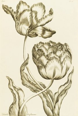 Double Oriflamme - Tulipa Gesneriana Multiplex by John Hill - print