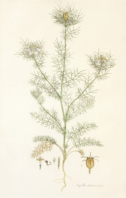 Nigella damascena. Love in a Mist Poster Art Print by John Sibthorp