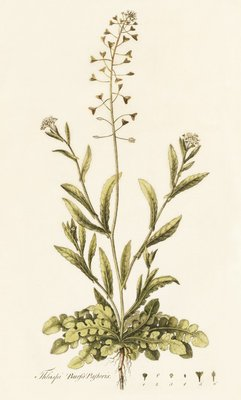 Capsella (Thlaspi) Bursa Pastoris . Shepherd's Purse by William Curtis - print