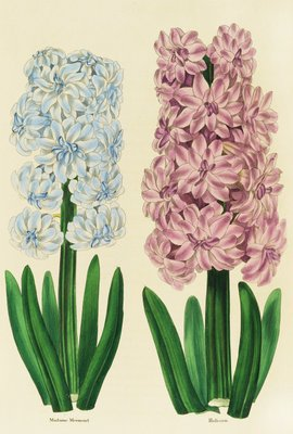 Hyacinths Madame Mermond and Helicon by Anon - print
