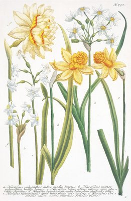 Illustrations of various Narcissi by Johann Wilhelm Weinmann - print
