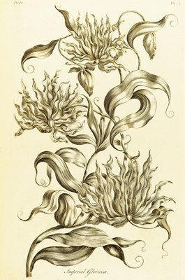 Imperial Gloriosa - Gloriosa superba by John Hill - print