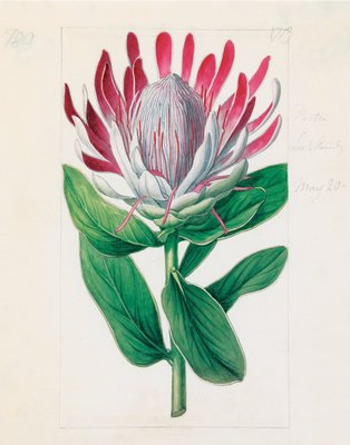 Protea formosa. Crown-Flowered Protea by Sydenham Teast Edwards - print