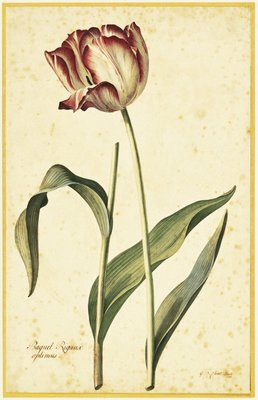Tulip by Georg Dionysius Ehret - print