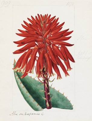 Aloe mitriformis Mill. Mitre Aloe by Sydenham Teast Edwards - print