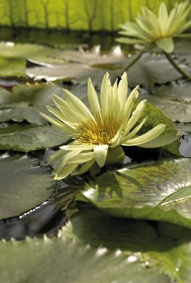 Nymphaea eldorado. Waterlily by Andrew McRobb - print