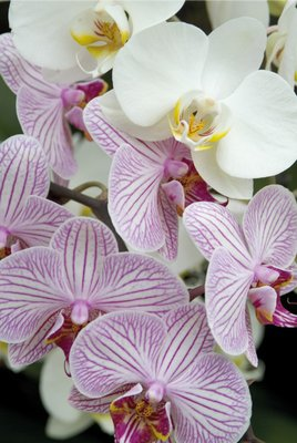 Orchid Festival - Phalaenopsis Hybrids botanical print by Andrew McRobb