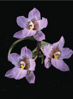 Lemboglossum cervantesii by Andrew McRobb - print