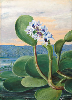 38. A Tropical American Water Plant. botanical print by Marianne North