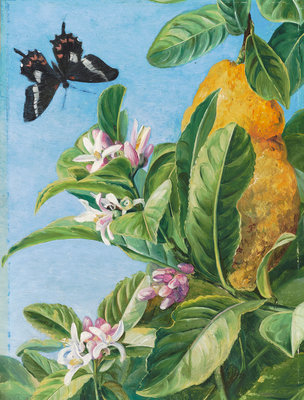186. Foliage, Flowers and Fruit of the Citron, and Butterfly; painted in Brazil. botanical print by Marianne North