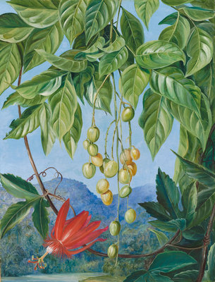 223. Foliage and Fruit of the Wampee and American Passion Flower. Poster Art Print by Marianne North