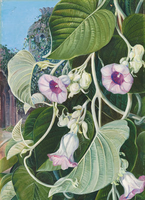 245. The Elephant Creeper of India. Poster Art Print by Marianne North