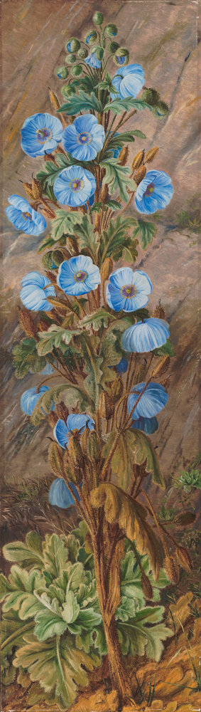 252. Blue Poppy growing on Mt. Tonglo, Sikkim-Himalaya. botanical print by Marianne North