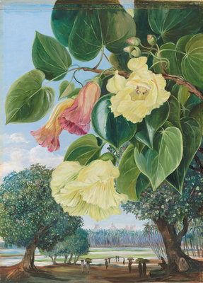 256. Foliage and Flowers of the Suriya or Portia; the Pagodas of Madura in the distance. botanical print by Marianne North