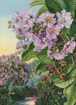 257. Foliage, Flowers, and Fruit of a Forest Tree of India. botanical print by Marianne North