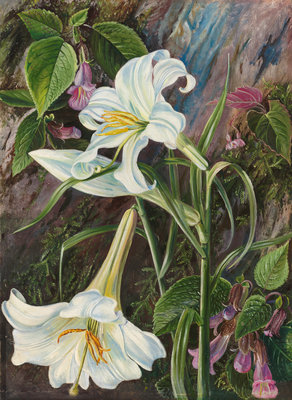 285. The Great Lily of Nainee Tal, in North India. Poster Art Print by Marianne North
