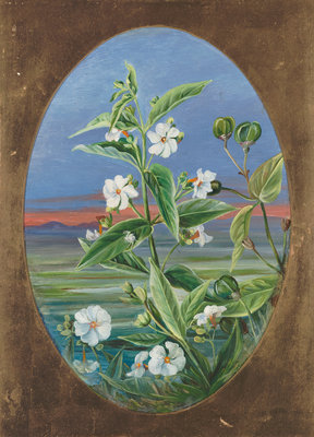 307. The Night Jessamine. Poster Art Print by Marianne North