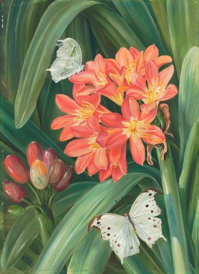 352. Clivia miniata and Moths, Natal. Poster Art Print by Marianne North