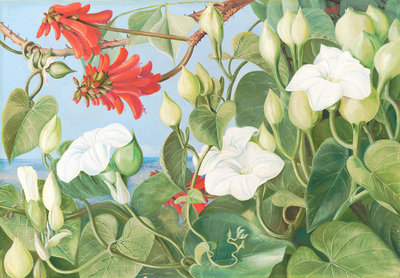 354. White Convolvulus and Kaffirboom, painted at Durban, Natal. botanical print by Marianne North
