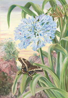 357. Blue Lily and large Butterfly, Natal. Poster Art Print by Marianne North
