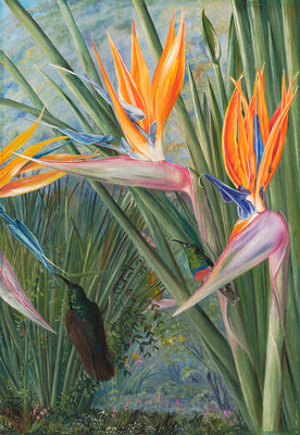 365. Strelitzia and Sugar Birds, South Africa. Poster Art Print by Marianne North