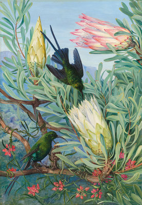 415. Honeyflowers and Honeysuckers, South Africa. botanical print by Marianne North