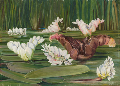 420. A South African Water-Plant in Flower and Fruit. botanical print by Marianne North