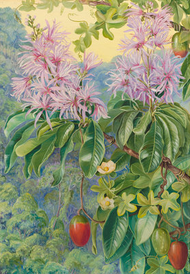 457. Wild Chestnut and Climbing Plant of South Africa. Poster Art Print by Marianne North