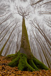 The Beech with a Human Face botanical print by Leszek Paradowski