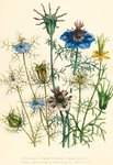 Illustrations of various Nigellas / Love in a Mist botanical print by Jane Webb Loudon