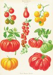 Tomatoes, or Love-Apples botanical print by Sydenham Teast Edwards