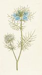 Nigella damascena. Garden Fennel-flower by Anon - print