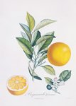 Orange Bigarrade Couronnée botanical print by Antoine Poiteau