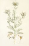 Nigella damascena. Love in a Mist botanical print by John Sibthorp