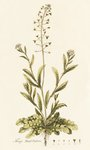 Capsella (Thlaspi) Bursa Pastoris . Shepherd's Purse Poster Art Print by John Hill
