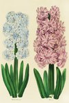 Fine Art Print of Hyacinths Madame Mermond and Helicon by Anon