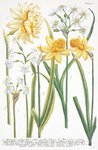 Fine Art Print of Illustrations of various Narcissi by Johann Wilhelm Weinmann